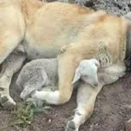kangal çoban köpeği 5.jpg