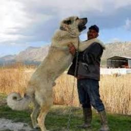 kangal çoban köpeği 2.jpg