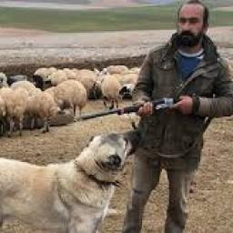 kangal çoban köpeği 3.jpg