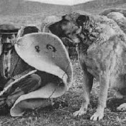 kangal çoban köpeği 4.jpg